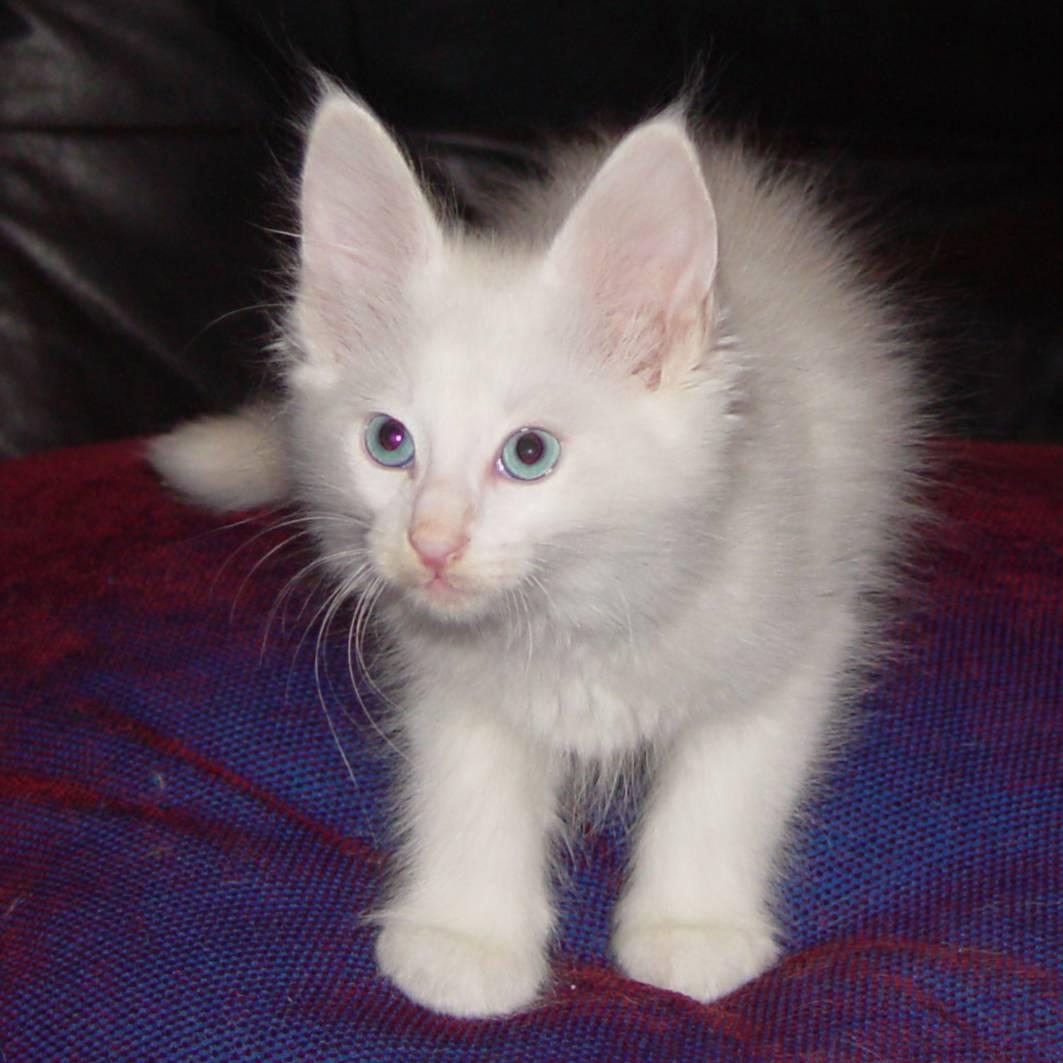 寵物: 土耳其安哥拉貓