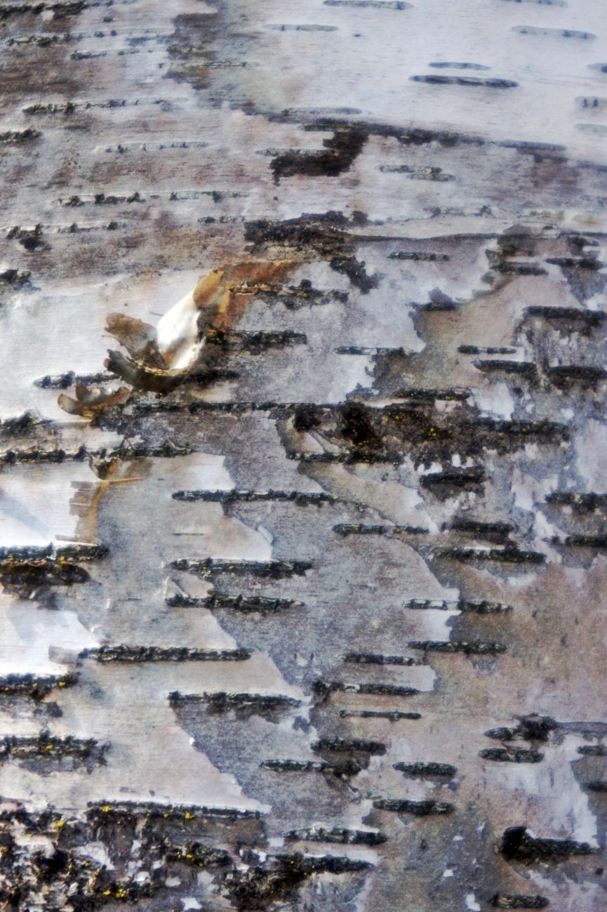 Spuren&Strukturen #7 — Birkenrinde in zwei Variationen