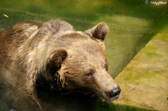 Uno dei tre orsi nella Fossa degli Orsi di Berna