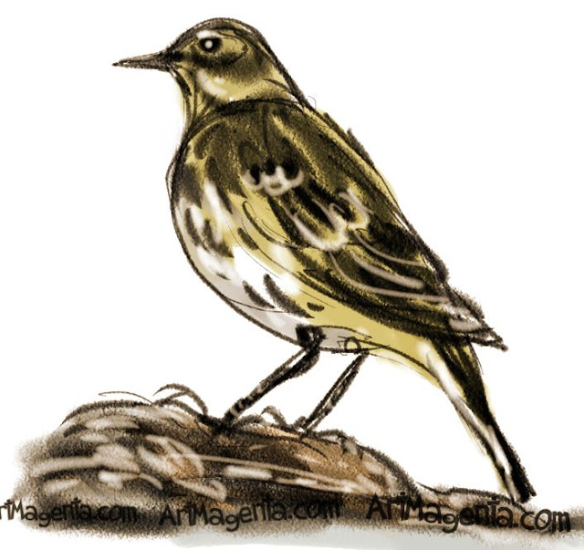 Rock Pipit sketch painting. Bird art drawing by illustrator Artmagenta.