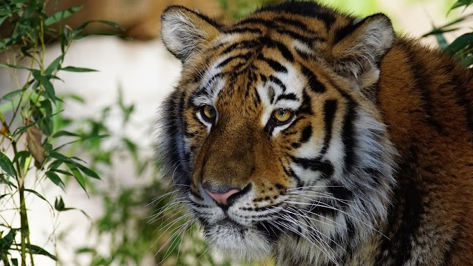 Tiger HD image