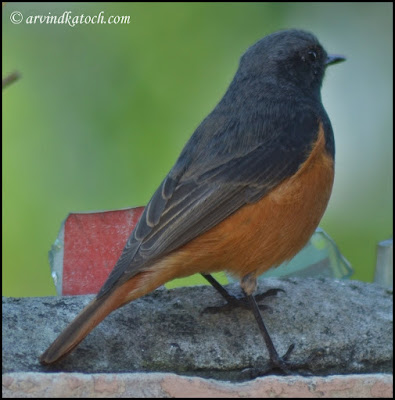 Black Redstart Back