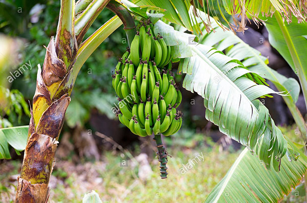 pokok-pisang