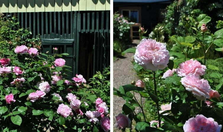 Rosenpracht und Bienenfreude