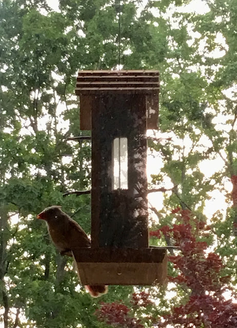 Cardinal at bird feeder.