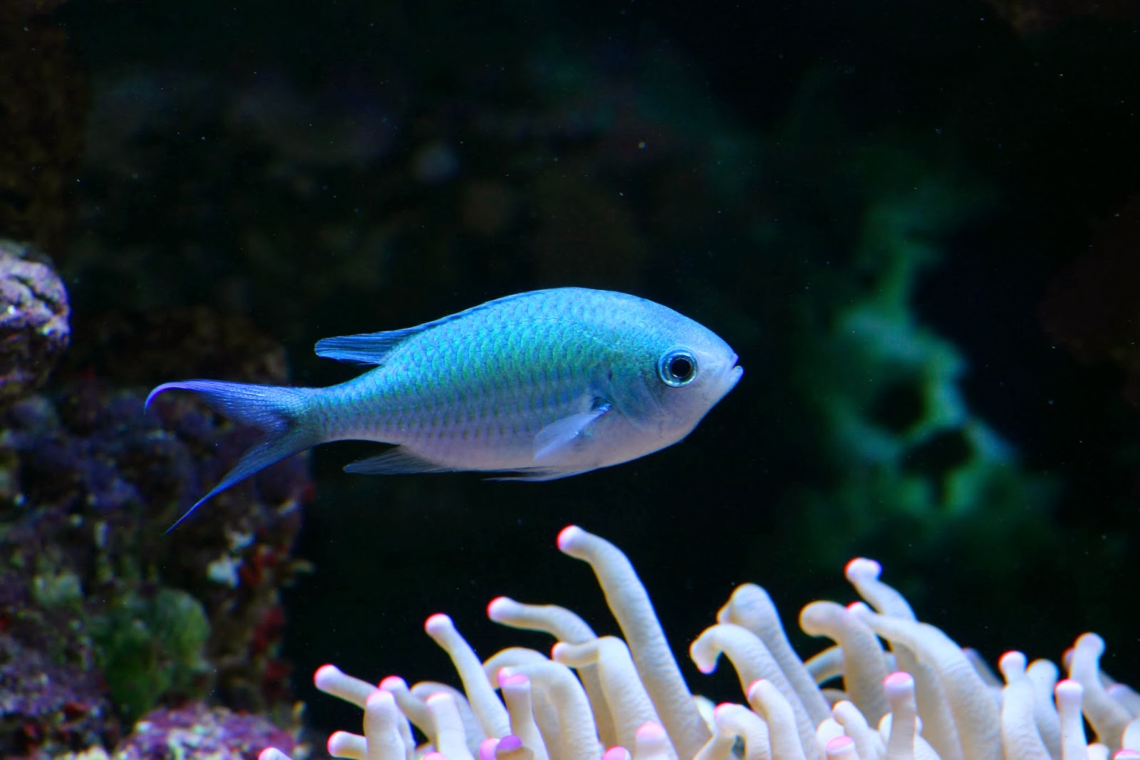 Nano fish small size big personalities marine depot blog for Good community fish