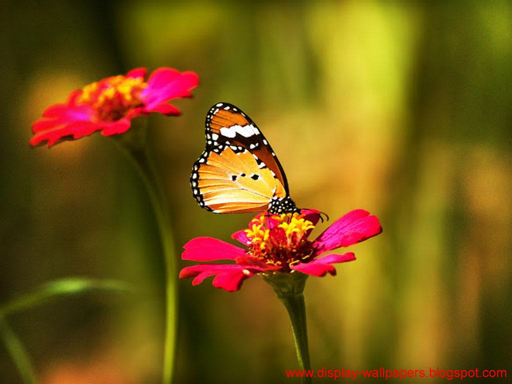 Wallpapers Download: Butterfly Desktop Wallpaper HD