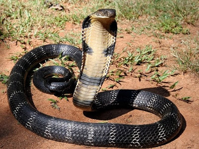 King Cobra big