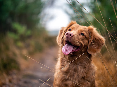 A brown dog is sitting besides long grass on a dirt road