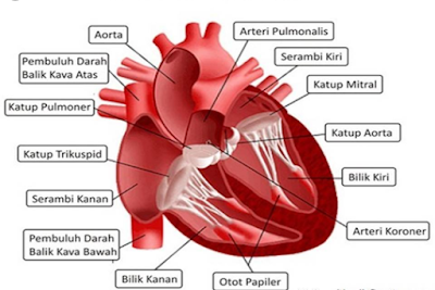 pengertian jantung