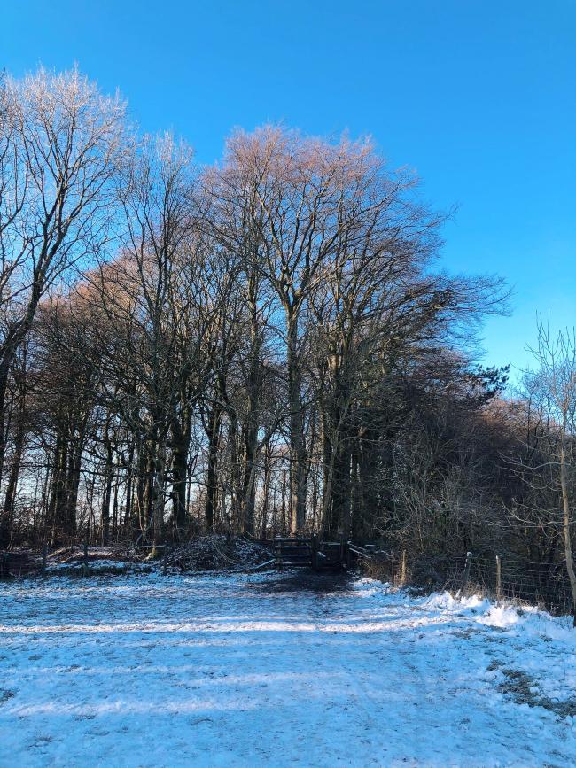 Bare trees and blue sky, snowy floor