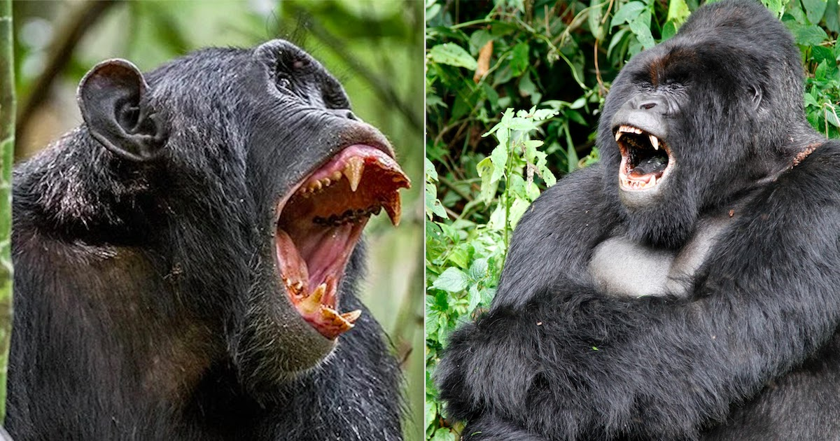 Chimpanzees And Gorillas Have Gone To War In The Wild For The First Time