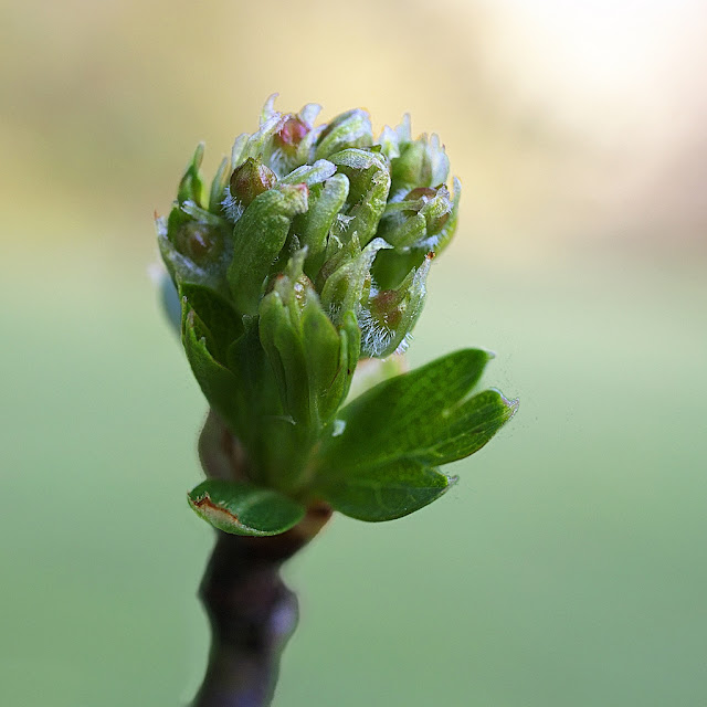 Close up of hawthorn bud with unfolding leaves and growing flower buds