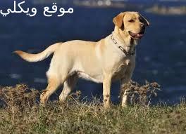 كل المعلومات عن كلاب رابرادور ريتريفر ومميزاته