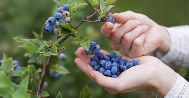 Panduan Cara Menanam, Merawat, dan Memanen Blueberry