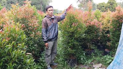 Jual pohon pucuk merah di cikarang - tukang rumput bogor