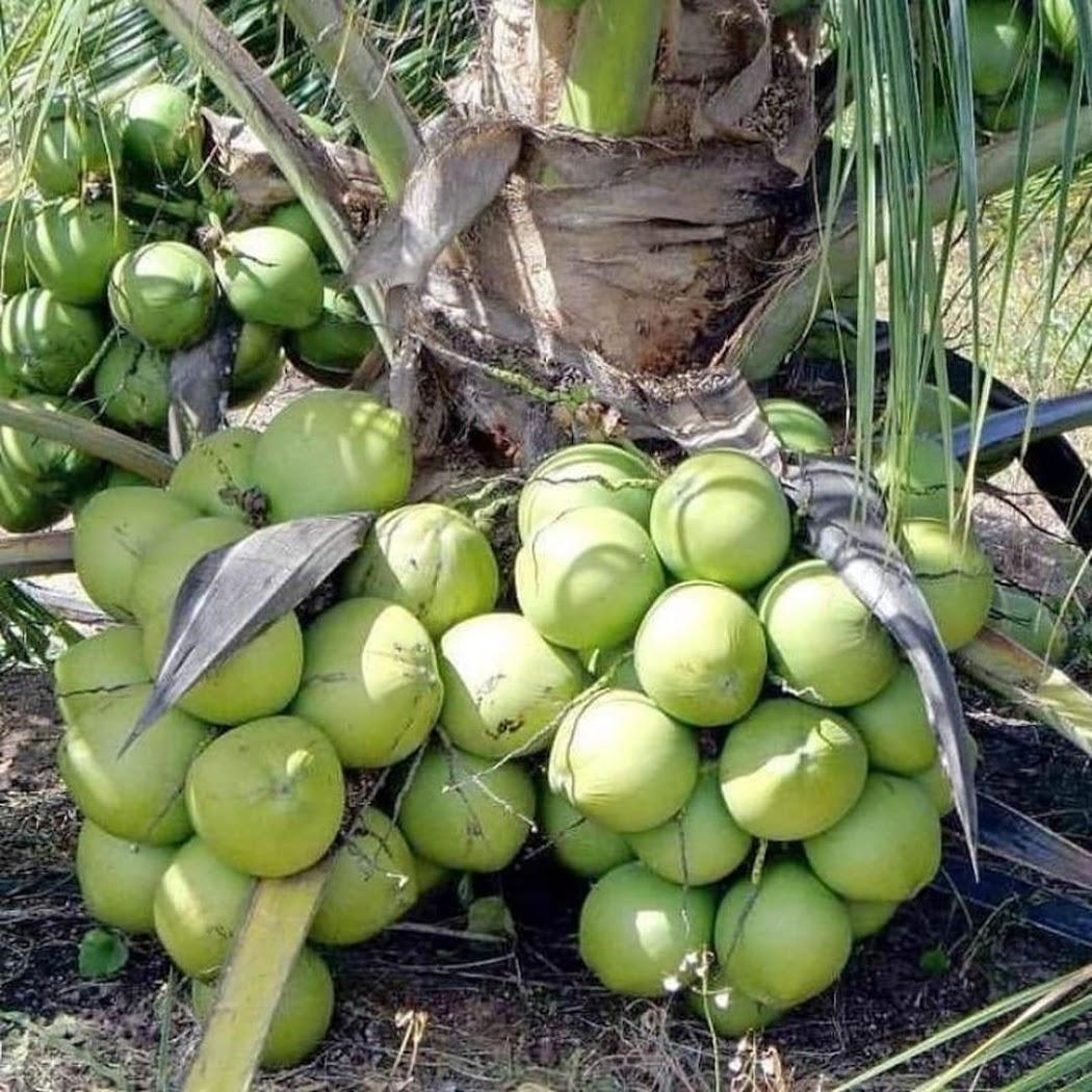 bibit kelapa hibrida genjah Sorong