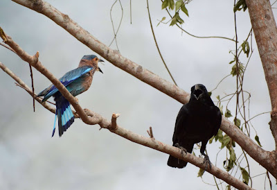 An Indian roller and a crow