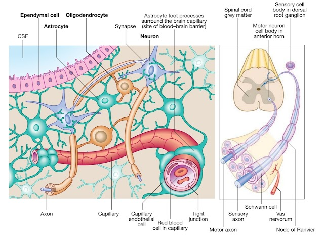 What are the cells of the nervous system?