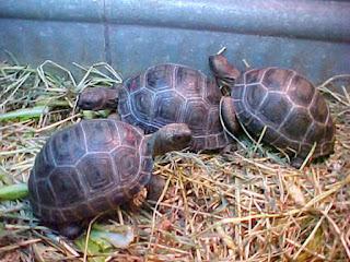 memandikan-kura-kura-aldabra.jpg