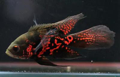 Harga Ikan Oscar Tiger Slayer