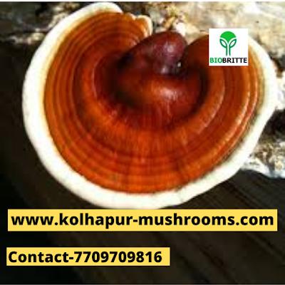 Ganoderma Mushroom Spawn Supplier