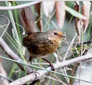 Suara burung Pilotbird