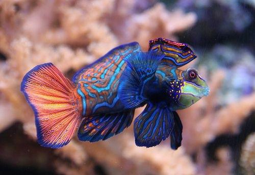 Beautiful Wild Animals Wallpapers Mandarinfish Wild Life Animal