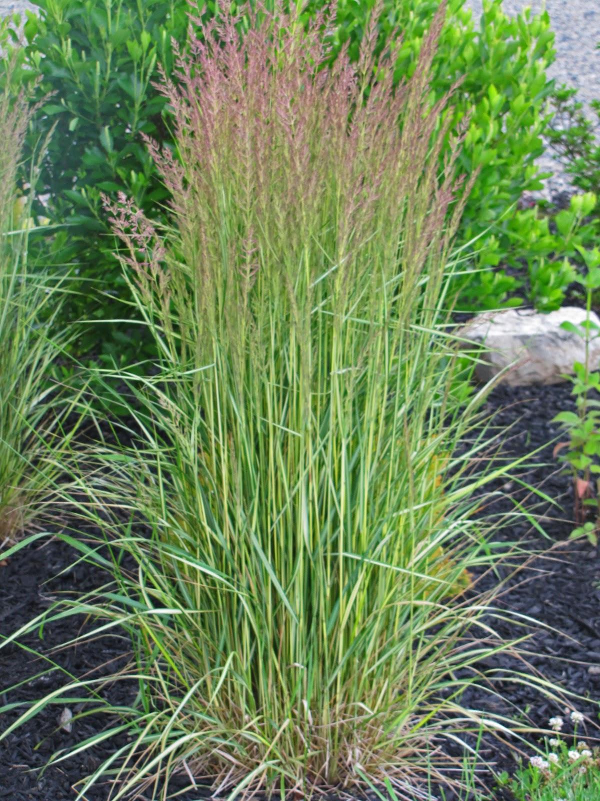 Calamagrostis (Feather Reed Grass) 'El Dorado' - AN ...