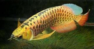Arwana Red Tail Golden (RTG), Salah Satu Jenis Ikan Arwana