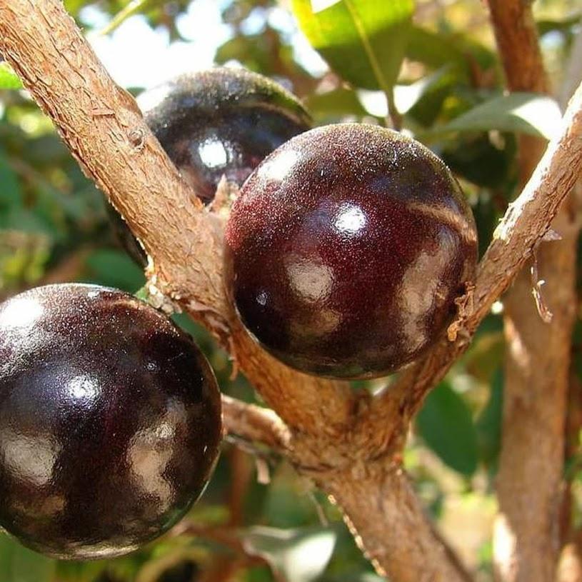 J Bibit Pohon Anggur Brazil Buah Anggur Hitam Tanaman Jaboticaba Medan