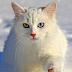 Kedi Irkları ve Özellikleri