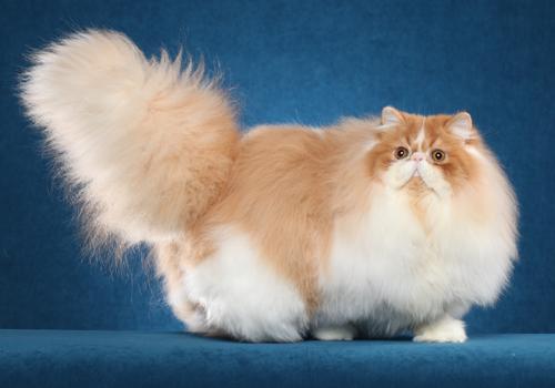 أنواع القطط وأسعارها في مصر والسعودية