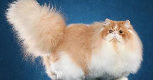 مشرف يجب خصوصية انواع القطط المنزلية بالصور Comertinsaat Com