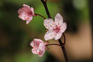 zierplaume flower
