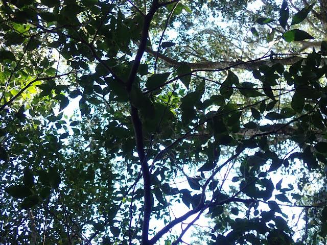 Maytenus acuminata