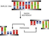 Kamu Wajib Tahu, Apa Itu Enzim Endonuklease atau Gunting Biologi?