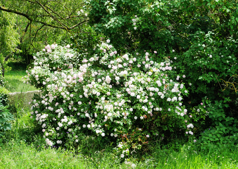 Rose bushes in Levens