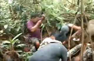 Penangkapan Ular Piton Besar Sepanjang 8 Meter di Padang