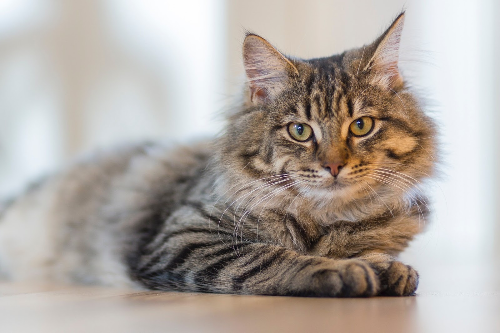 Gray tabby cat lying on white surface,cat images