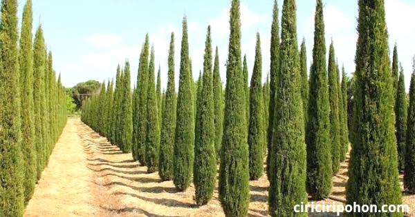 Ciri Ciri Pohon Cemara
