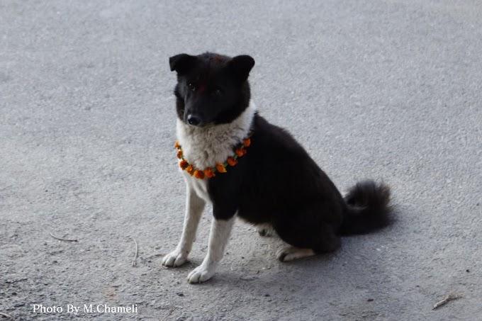 野良犬のククル・ティハール