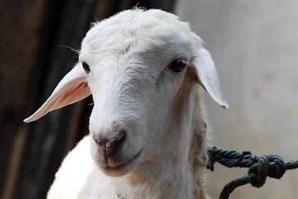 7 Jenis  Domba di Indonesia Beserta Gambarnya