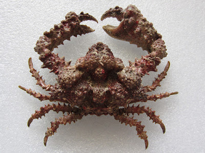 Rubble crab, Daldorfia horrida