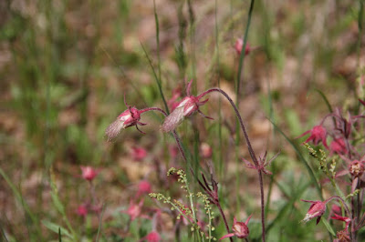 prairie smoke blooming, late May 2017