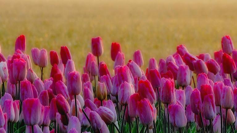 Tulips Flowers HD Wallpaper 7