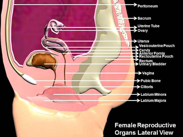 Subhaditya InfoWorld: Human Female Reproductive Organs and ...