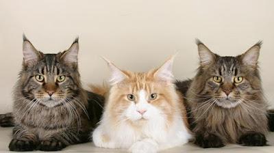 Karakter Ras Kucing Mainecoon