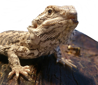 Bearded dragon mouth rot