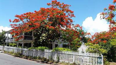 Blooming Poinciana tree on island street.